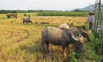 Phú Hòa (Phú Yên): Nông dân phát triển đàn trâu