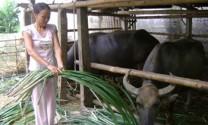 Xíu Mần, Hà Giang: Thúc đẩy chăn nuôi gia súc
