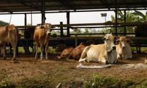Tam Đảo - Vĩnh Phúc: Chăn nuôi bò sữa, bò thịt bước đầu khởi sắc.