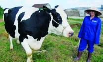 Hòa Vang: Điển hình chăn nuôi tại Đà Nẵng