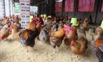 Đồng Nai: Giá gà lông màu tăng 15 - 16 ngàn đồng/kg