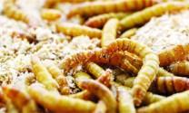 Bột côn trùng - Nguồn thức ăn tiềm năng của ngành chăn nuôi