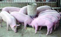 Ngừng sử dụng kháng sinh trong thức ăn chăn nuôi từ 2017