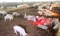 Một số công nghệ mới xử lý chất thải chăn nuôi