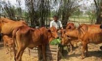 Huyện Tân Hồng (Đồng Tháp): Ngành hàng bò trước thách thức hội nhập