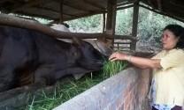 Phát triển đàn bò lai ở huyện Tây Hòa (Phú Yên): Góp phần tăng thu nhập cho người dân