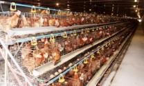 Giá gà thịt tăng mạnh