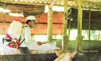 Xuất hiện bệnh lợn tai xanh tại xã Hải Phú (Quảng Trị)