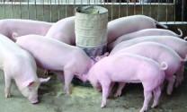 Phối trộn thức ăn cho lợn