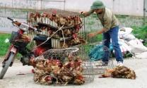 Quan ngại gà nhập khẩu