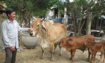 Đức Phổ (Quảng Ngãi): Phát triển kinh tế nhờ chăn nuôi bò cái Zê bu sinh sản