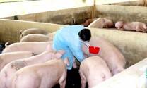 Mỗi ngày Đồng Nai bán 3 - 4 ngàn con heo sang Trung Quốc