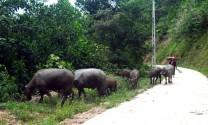 Chung sức xây dựng nông thôn mới: Hiệu quả mô hình nuôi trâu thương phẩm ở Tràng Lương (Quảng Ninh)