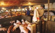 Cam kết chăn nuôi an toàn