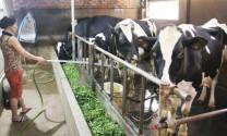 Hà Nội: Tàm Xá đổi thay nhờ bò sữa