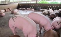 Cà Mau: Giá lợn tăng mạnh