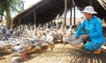 Tiền Giang: Vịt nuôi thích nghi vùng biển mặn