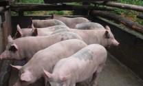 Cà Mau: Giá heo tăng mạnh, người nuôi có lãi