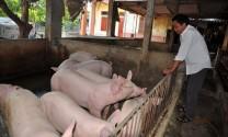 """Trung Quốc ngừng thu mua lợn: Lợn """"siêu trọng"""" không lối thoát"""
