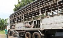 Xuất khẩu lợn sống từ Việt Nam sang Trung Quốc: Sẽ gặp khó!