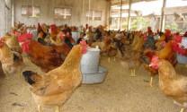 Bệnh hen gà  (CRD - CHRONIC RESPIRATORY DISEASE)