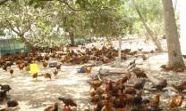Đồng Tháp: Giá gà thả vườn tăng mạnh