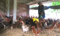 Phú Yên: Gà thịt tăng giá, người nuôi có lãi