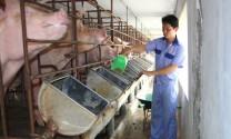 Liên kết để phát triển chăn nuôi