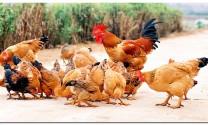 Phòng và trị bệnh ký sinh trùng đường máu ở gà