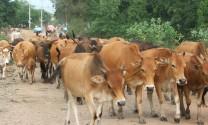 Trâu bò thịt tăng giá trở lại, người nuôi phấn khởi