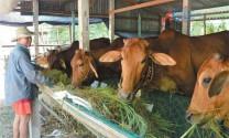 Lâm Đồng: 2 tỷ đồng phát triển bò thịt cao sản