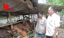 An Giang: Củng cố nội lực ngành chăn nuôi bò