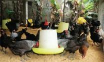 Kỹ thuật làm đệm lót sinh học trong nuôi gà