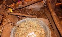 Vì sao người nuôi không bán trứng gà Đông Tảo dù được trả giá cao?