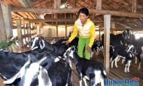 Bình Trị (Quảng Ngãi): Phát triển mô hình nuôi dê