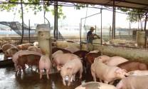 Xây dựng vùng, cơ sở an toàn dịch bệnh động vật hướng đến xuất khẩu