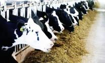 Kỹ thuật nuôi bò lấy sữa sau đẻ