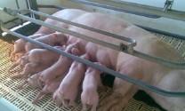 Vĩnh Phúc: Hiệu quả từ nuôi lợn nái sinh sản