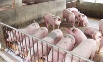 Đắk Lắk: 687 cơ sở cam kết không sử dụng chất cấm trong chăn nuôi