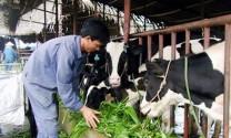 Lâm Đồng: Phát triển chăn nuôi từ quỹ hỗ trợ nông dân