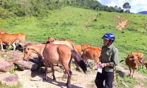 Triệu phú nuôi ngựa, bò ở bản Mông