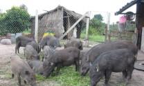 Tuyên Quang: Kết quả khả quan từ Dự án nuôi lợn rừng lai
