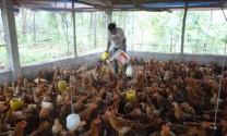 """Người chăn nuôi gà đang """"hụt hơi"""""""
