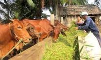 Quảng Bình: Nuôi bò lai xóa nghèo bền vững