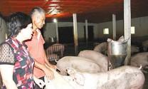 Tổ hợp tác Hợp Thành cùng nông dân chăn nuôi lợn sạch  Tổ hợp tác Hợp Thành cùng nông dân chăn nuôi lợn sạch