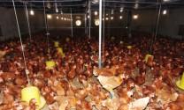 Hộ nuôi gà thu 5 triệu quả trứng/năm ở Quỳnh Lưu (Nghệ An)
