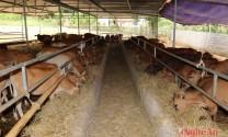 Thu hơn 1 tỷ mỗi năm từ nuôi bò vỗ béo