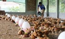 Thương hiệu gia cầm Việt: Hướng tới sạch và ngon