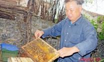 Nuôi ong lấy 'sữa' cho thu nhập hàng trăm triệu đồng