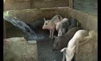Nhiều dịch bệnh trong chăn nuôi được kiểm soát tốt